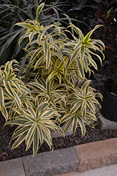 Song of India Plant (Dracaena reflexa 'Song of India') at Shelmerdine Garden Center