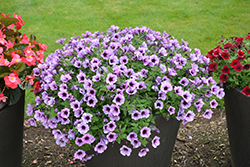 Supertunia® Bordeaux Petunia (Petunia 'Supertunia Bordeaux') at Shelmerdine Garden Center