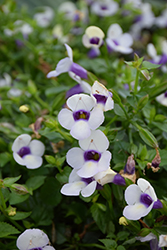 Grape-O-Licious Torenia (Torenia 'Grape-O-Licious') at Shelmerdine Garden Center