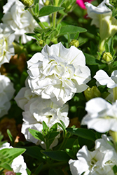 Surfinia® Summer Double White Petunia (Petunia 'Surfinia Summer Double White') at Shelmerdine Garden Center