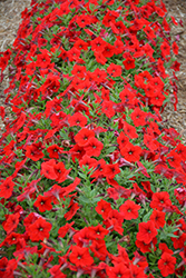 Easy Wave® Red Petunia (Petunia 'Easy Wave Red') at Shelmerdine Garden Center