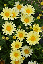 Vanilla Butterfly Marguerite Daisy (Argyranthemum frutescens 'Vanilla Butterfly') at Shelmerdine Garden Center