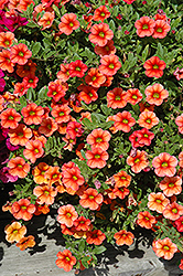 Celebration Mandarin Calibrachoa (Calibrachoa 'Celebration Mandarin') at Shelmerdine Garden Center