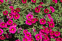 Noa Mega Magenta Calibrachoa (Calibrachoa 'Noa Mega Magenta') at Shelmerdine Garden Center