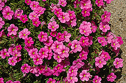 Noa Mega Pink Calibrachoa (Calibrachoa 'Noa Mega Pink') at Shelmerdine Garden Center