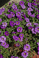 Noa Mega Violet Calibrachoa (Calibrachoa 'Noa Mega Violet') at Shelmerdine Garden Center
