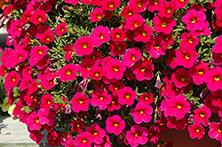 Cabaret® Cherry Rose Calibrachoa (Calibrachoa 'Cabaret Cherry Rose') at Shelmerdine Garden Center