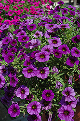 MiniFamous® Royal Blue Calibrachoa (Calibrachoa 'MiniFamous Royal Blue') at Shelmerdine Garden Center