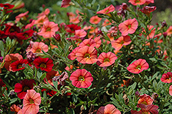 MiniFamous® Compact Orange Calibrachoa (Calibrachoa 'MiniFamous Compact Orange') at Shelmerdine Garden Center
