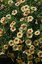Celebration Peach Cobbler Calibrachoa (Calibrachoa 'Celebration Peach Cobbler') at Shelmerdine Garden Center
