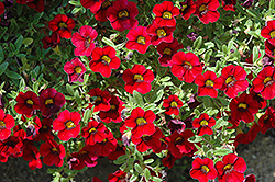 Lindura Red Calibrachoa (Calibrachoa 'Lindura Red') at Shelmerdine Garden Center