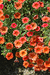 Superbells® Dreamsicle Calibrachoa (Calibrachoa 'Superbells Dreamsicle') at Shelmerdine Garden Center