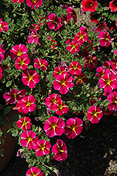 Superbells® Cherry Star Calibrachoa (Calibrachoa 'Superbells Cherry Star') at Shelmerdine Garden Center