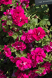 Double Wave Purple Petunia (Petunia 'Double Wave Purple') at Shelmerdine Garden Center