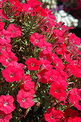 Supertunia® Watermelon Charm Petunia (Petunia 'Supertunia Watermelon Charm') at Shelmerdine Garden Center