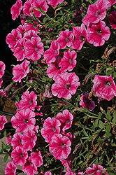 Supertunia® Mini Strawberry Pink Vein Petunia (Petunia 'Supertunia Mini Strawberry Pink Vein') at Shelmerdine Garden Center