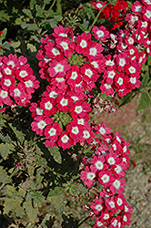 Empress™ Strawberry Charme Verbena (Verbena 'Empress Strawberry Charme') at Shelmerdine Garden Center