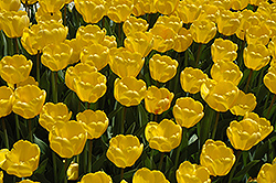 Golden Appeldoorn Tulip (Tulipa 'Golden Appeldoorn') at Shelmerdine Garden Center