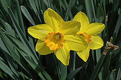 Carlton Daffodil (Narcissus 'Carlton') at Shelmerdine Garden Center