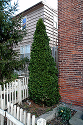 Dark Green Arborvitae (Thuja occidentalis 'Nigra') at Shelmerdine Garden Center