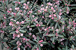 Blue Ice Bog Rosemary (Andromeda polifolia 'Blue Ice') at Shelmerdine Garden Center