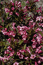 Samba Weigela (Weigela florida 'Samba') at Shelmerdine Garden Center