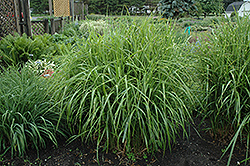 Porcupine Grass (Miscanthus sinensis 'Strictus') at Shelmerdine Garden Center