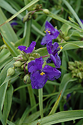 Zwanenburg Blue Spiderwort (Tradescantia x andersoniana 'Zwanenburg Blue') at Shelmerdine Garden Center