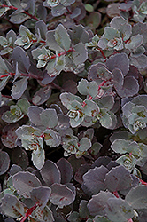 Sunset Cloud Stonecrop (Sedum 'Sunset Cloud') at Shelmerdine Garden Center