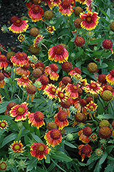 Arizona Sun Blanket Flower (Gaillardia x grandiflora 'Arizona Sun') at Shelmerdine Garden Center