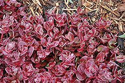 Cherry Tart Stonecrop (Sedum 'Cherry Tart') at Shelmerdine Garden Center