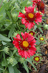 Burgundy Blanket Flower (Gaillardia x grandiflora 'Burgundy') at Shelmerdine Garden Center