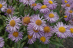 Azure Fairy Fleabane (Erigeron speciosus 'Azure Fairy') at Shelmerdine Garden Center