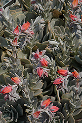 Topsy Turvy Echeveria (Echeveria runyonii 'Topsy Turvy') at Shelmerdine Garden Center