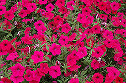 Tidal Wave Cherry Petunia (Petunia 'Tidal Wave Cherry') at Shelmerdine Garden Center