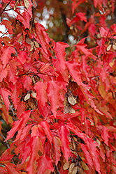 Amur Maple (tree form) (Acer ginnala '(tree form)') at Shelmerdine Garden Center