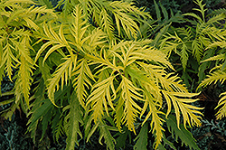 Sutherland Gold Elder (Sambucus racemosa 'Sutherland Gold') at Shelmerdine Garden Center