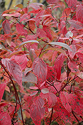 Red Osier Dogwood (Cornus sericea) at Shelmerdine Garden Center