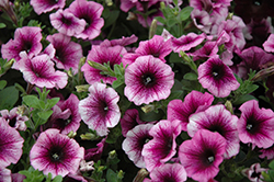 Sweetunia Purple Vein Petunia (Petunia 'Sweetunia Purple Vein') at Shelmerdine Garden Center