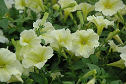 Popcorn Petunia (Petunia 'Popcorn') at Shelmerdine Garden Center