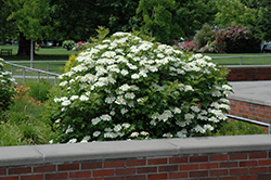 Bailey Compact Highbush Cranberry (Viburnum trilobum 'Bailey Compact') at Shelmerdine Garden Center
