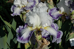 Blueberry Parfait Iris (Iris 'Blueberry Parfait') at Shelmerdine Garden Center