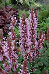 Cotton Candy Hyssop (Agastache 'Cotton Candy') at Shelmerdine Garden Center