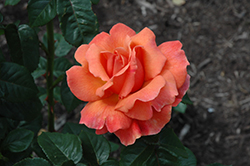 Easy Does It Rose (Rosa 'Easy Does It') at Shelmerdine Garden Center