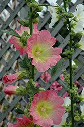 Las Vegas Hollyhock (Alcea 'Las Vegas') at Shelmerdine Garden Center