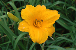 Spellbinder Daylily (Hemerocallis 'Spellbinder') at Shelmerdine Garden Center