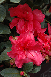 Encore® Autumn Rouge™ Azalea (Rhododendron 'Conlea') at Shelmerdine Garden Center