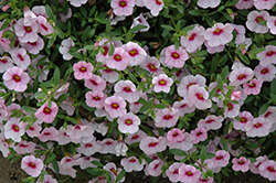 MiniFamous® Light Pink Eye Calibrachoa (Calibrachoa 'MiniFamous Light Pink Eye') at Shelmerdine Garden Center