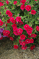 MiniFamous® Double Magenta Calibrachoa (Calibrachoa 'MiniFamous Double Magenta') at Shelmerdine Garden Center