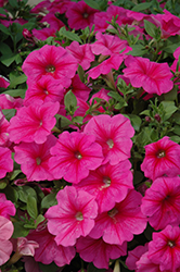 Famous Rose Star Petunia (Petunia 'Famous Rose Star') at Shelmerdine Garden Center